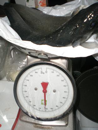 sulla bilancia 2 spigole da mezzo chilo, un kilogrammo totale